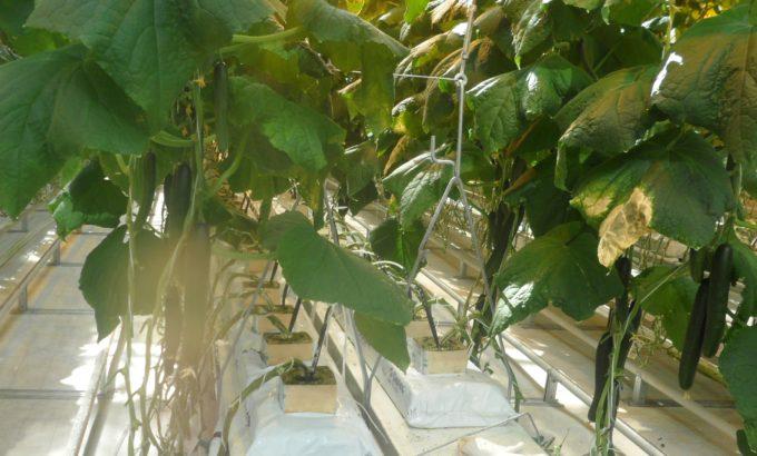 В теплицах овощного хозяйства «Круглый год»